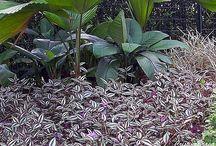 planta rasteira / lambari