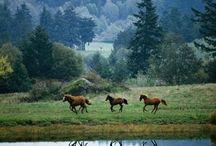 Chevaux / les chevaux
