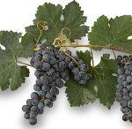 WINE || Vineyards