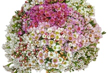 "Waxflower /      Known as the flower of romance, waxflower is native to the land ""down under"" -  Western Australia. There are over 400 named hybrids and varieties, with over 50 varieties being grown commercially. 	The flowering stems make wonderful ""fillers"", which fill empty spaces, compliment the color scheme and add frilly or delicate textures to arrangements and bouquets."