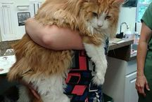 Maine Coon / This board is dedicated to the cat breed known as the Maine Coon