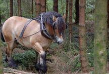 L'Ardennais Suèdois / L'Ardennais Suédois, ou le Suédois du Nord, est un cheval de race de Suèdes élevé selon la tradition des Ardennais depuis plus d'un siècle. Pour développer la race d'origine, le comte Wrangle a importé des Ardennais belges et français au environs de 1872.