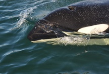 Orca / Sometimes we are lucky and even see Orca on our Whale Watching adventures!