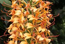 2016 PDN Hedychium / Hedychium (ginger lily) are wonderful pass-along perennial plants that are finally available in many new varieties and species. All of the ginger lilies we offer have proven to be reliably hardy in our Zone 7b garden (0 degrees F in winter). Although they are commonly called ginger lily, they are not a true lily (genus Lilium), but instead are related to true ginger (Zingiber). Hedychium plants are prized for their summer and early fall floral shows atop bold-foliaged stalks.