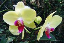 Phalaenopsis Orq.