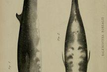 Sea Creatures Whales