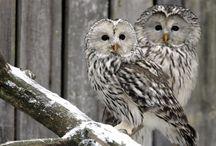 Pöllöjä Owls Ugglor / Pöllöjä Owls Ugglor