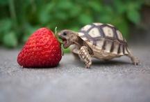 Turtle :3❤