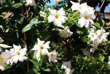 Dipladenia - Sundaville / Vendita Online Piante di #Dipladenia o #Sundaville in vaso - Sale Online #Dipladenia (or #Sundaville) Trees in pot.