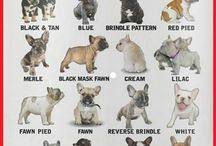 Pets / French bulldog. Frenchies. Frenchtons. Puppies. Pet care. Pet products. Family pets.