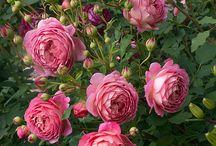Розы / о розах