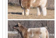 COWS!! / by Michelle Auzenne-Olszewski