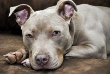 It's a Pit thing! / I love pit bulls more than I can describe!