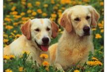 Gossets / Fotos de gossos