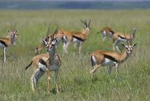 African Animals