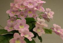 Favorite Streptocarpus / Some of our favorite Streptocarpus varieties.