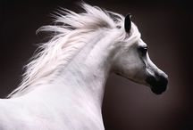 Arabian Nights / Arabian Horses