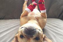 French Bulldog ❤❤