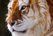Tigers / Majestic cats