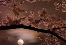 Beautiful cherry blossoms moonlight