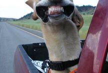 Dogs and cars - HAHAHA