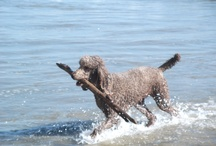Coco (TWD) / Pictures of Coco (TWD), a mocha colored standard poodle and his life in and around Santa Barbara, CA.