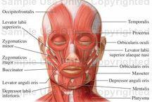 facial muscle