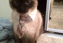 Siamese cat love