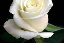 bílé růže, white rose