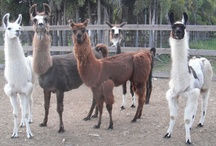 Your Mama is a Llama / Our Beautiful Llamas