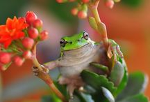 I LoVE Frogs! / Frogs are beautiful, magestic, ecologically irreplaceable but unfortunately the most threatened group of animals on the planet. Save Frogs!