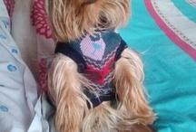 Cachupin / Yorkshire dog style