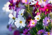 Cosmos / My dad's flowers