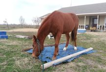 Bluebonnet Foster Horses / Horses and other equines in Bluebonnet Equine Humane Society foster homes.