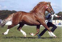 Welsh Ponies & Cobs