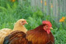Poules ~ Hens
