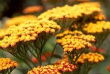 Planten voor Masia Casanova / Planten die ik graag wil planten in de tuin van onze Masia in Sitges.