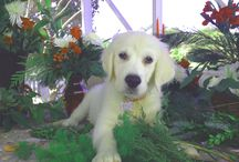 White Golden Retriever SAMPSON! / Sampson is a white golden retriever and 14 weeks old.  Author Deborah Dolen's dog who will swim in Gulf of Mexico with her all summer.  He is a handful but gets to run twice a day at Ft. Desoto Park in Bradenton, FL