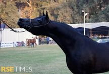 #ElZahraa2014 - 1 / Arabian horses and the people who love them at El Zahraa 2014 Arabian Horse Championships. Results >> http://horsetimesegypt.com/news_details.asp?id=347