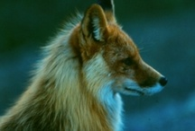 foxy / by Charlotte Downes
