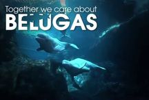 #CaringTogether / We asked for people to join with us on #CaringTogether Tuesdays, and show how they care about belugas. Visit CaringTogetherForBelugas.org, a site where you can learn the true importance of maintaining beluga whales in human care, come together as a community, share your story and also help ensure the future of beloved zoos and aquariums. Learn more: http://goo.gl/TXkmMC / by Georgia Aquarium