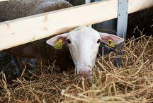 Animals / Вместе с людьми в долине Лефкадия живут козочки и овечки — главные поставщики молока для наших сыров!