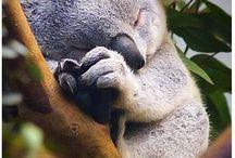 Koala bamse
