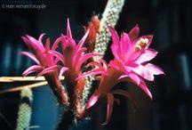 Opuntia - Echinopsis - Aporocactus / digitalisierte Dias meines Vaters, Hans Hermann (1926-2001)