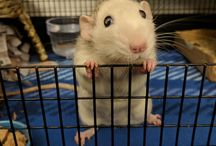 Crazy rat lady