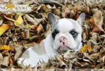 Filhotes Disponíveis - Puppies for Sale
