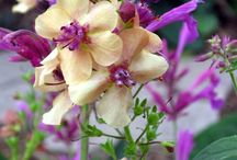 Verbascum/ Delphinium