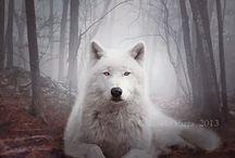 Lobo / animal mais lindo