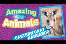 MFW - Kangaroo