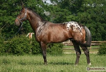 Polish Half-Bred Horse / country of origin - Poland | average height 160-175 cm | colours - black, bay/brown, chestnut, dilutes (cream), pinto patterns (tobiano, sabino), appaloosa patterns | uses - dressage, show jumping, eventing | It's not a breed yet, more of a population of crossbreeds of various European Warmbloods, as well as Thoroughbreds and Wielkopolski horses. The conformation varies. The breeders want to achieve a more unified conformation, so that crossing with other breeds won't be necessary anymore.